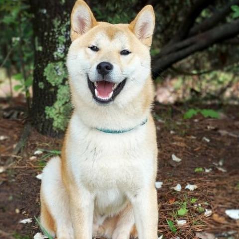 Akita Dog Breed Info