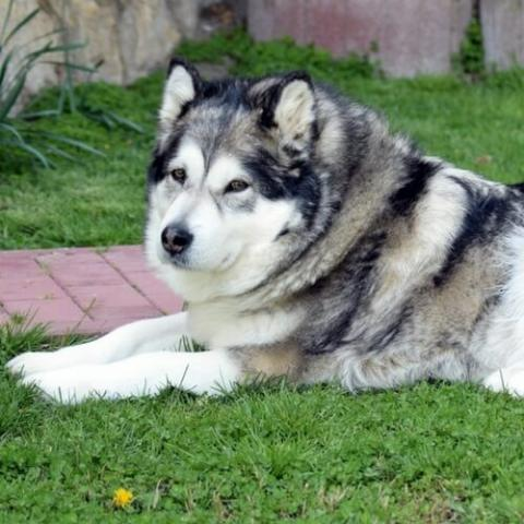 Alaskan Malamute Dog Breed Info