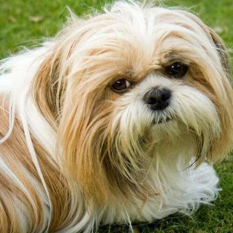 Shih Tzu Dog Breed Info