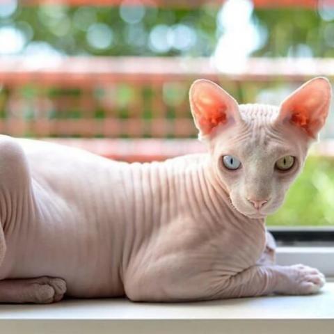 Sphynx Cat Breed Info
