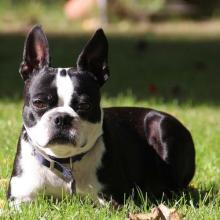 Boston Terrier Dog Breed Info
