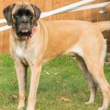 Giant Mixed Breed Dog Info