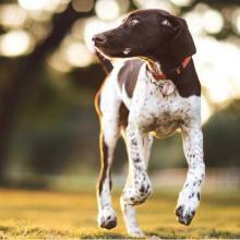 Pointer Dog Breed Info